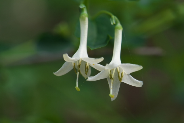 白花ウグイスカグラ-1