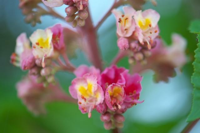 ピンクのトチの花-03