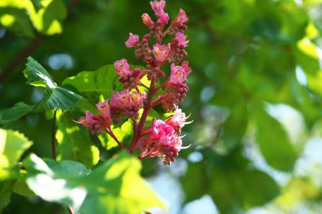 ピンクのトチの花-01