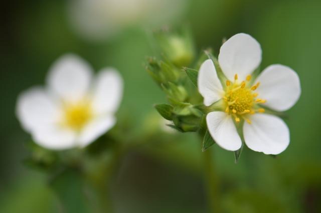 ワイルドストローベリーの花-1