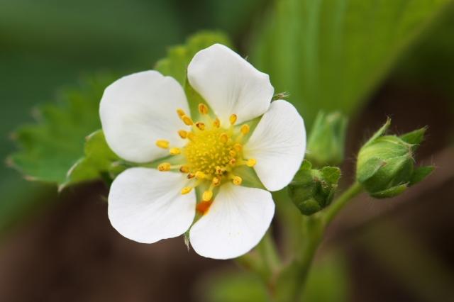 ワイルドストローベリーの花-3