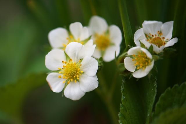 ワイルドストローベリーの花-2-1
