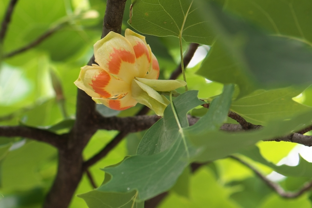 ユリノキの花-02
