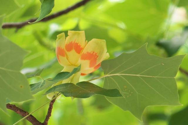 ユリノキの花-03