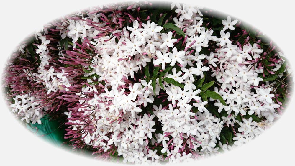 ジャスインの花20150430