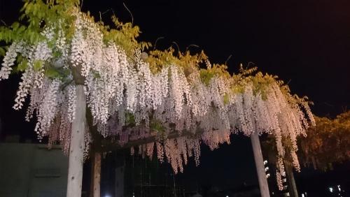 藤の花20150430