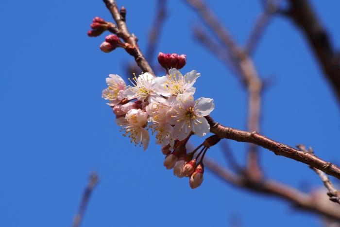 さくらんぼの花 2