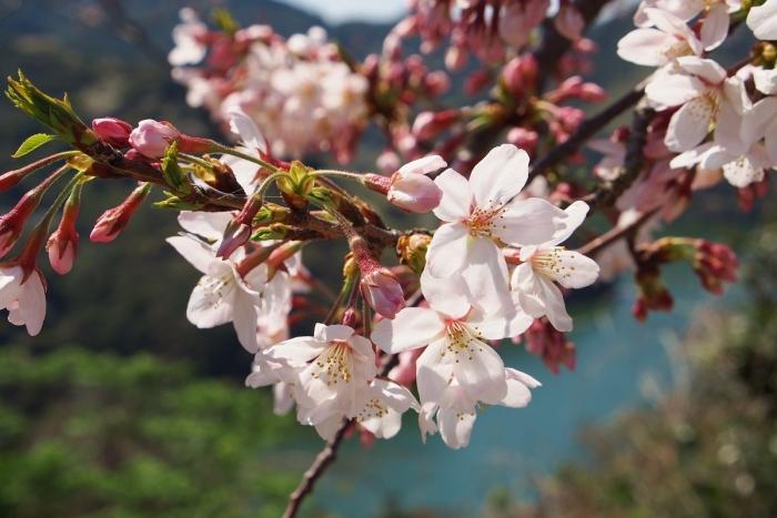 長目の浜展望所の桜 2