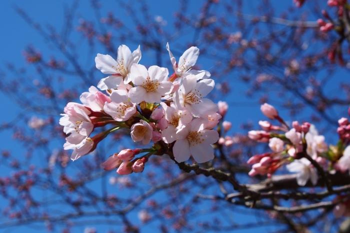 長目の浜展望所の桜 1