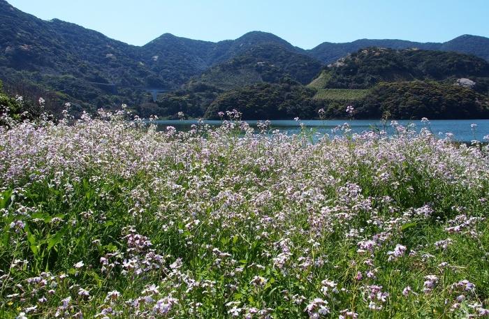 浜大根 かざき池 山桜の山々
