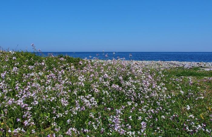 長目の浜の浜だいこんの花
