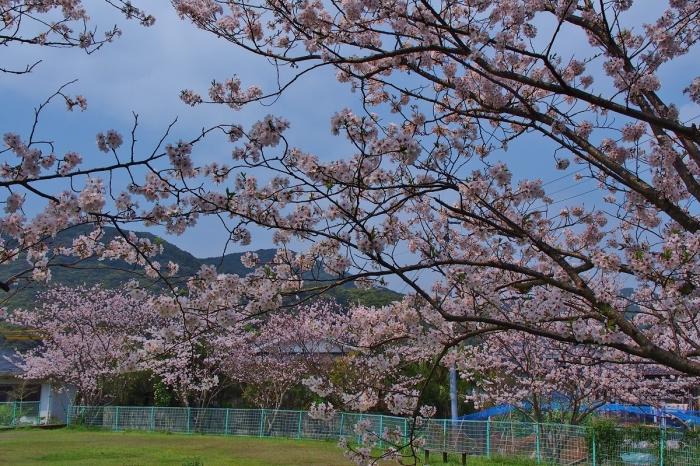 ゲートボール場の桜