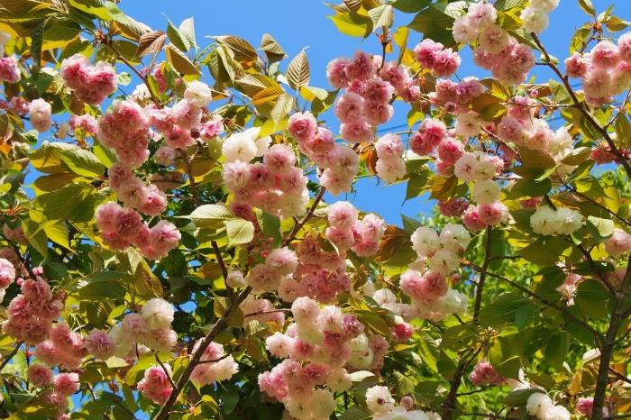 浦内小に咲く八重桜
