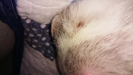マルコの肥満細胞腫