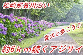 ajisai_20150507031132311.jpg