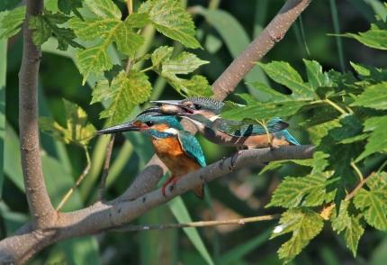 2014_kf17 幼鳥への給餌