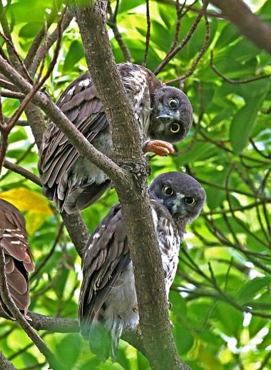 2014_1_アオバズクの幼鳥