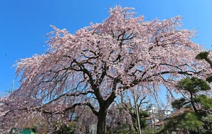 0330_1_M邸の枝垂れ桜 1