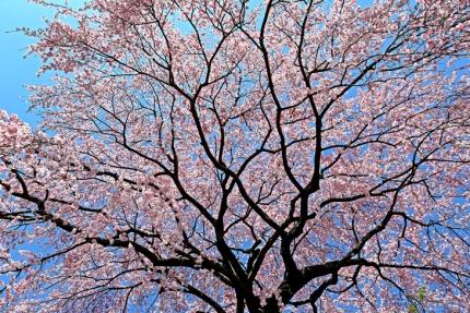 0330_2_M邸の枝垂れ桜 2
