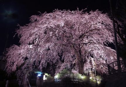 0330_4_M邸の枝垂れ桜 3