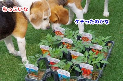 トマト 1