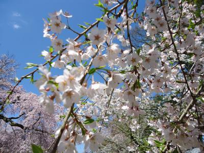 20154京都桜
