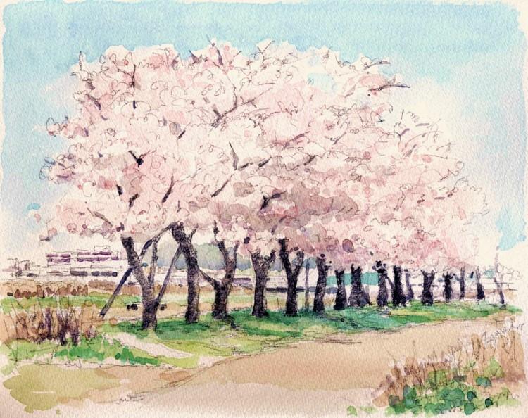 散歩道のさくら (750x594)
