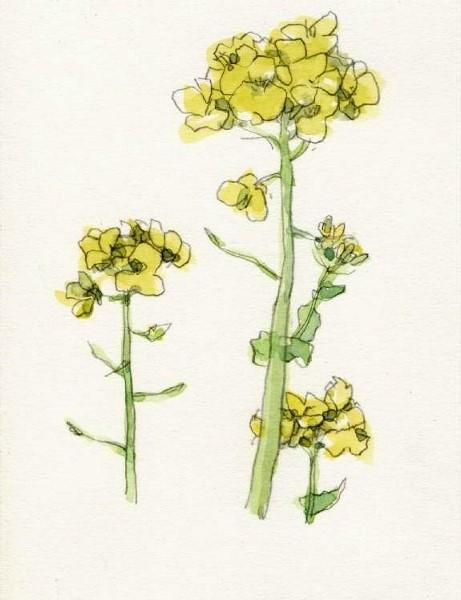 菜の花3 (461x600)