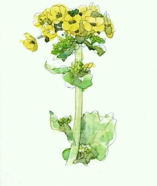 菜の花1 (507x600)