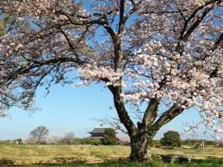 桜2015.1