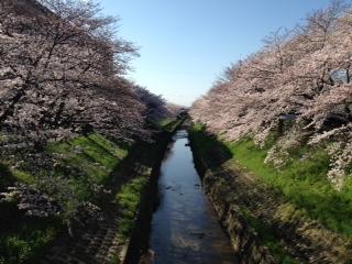 桜2015.3