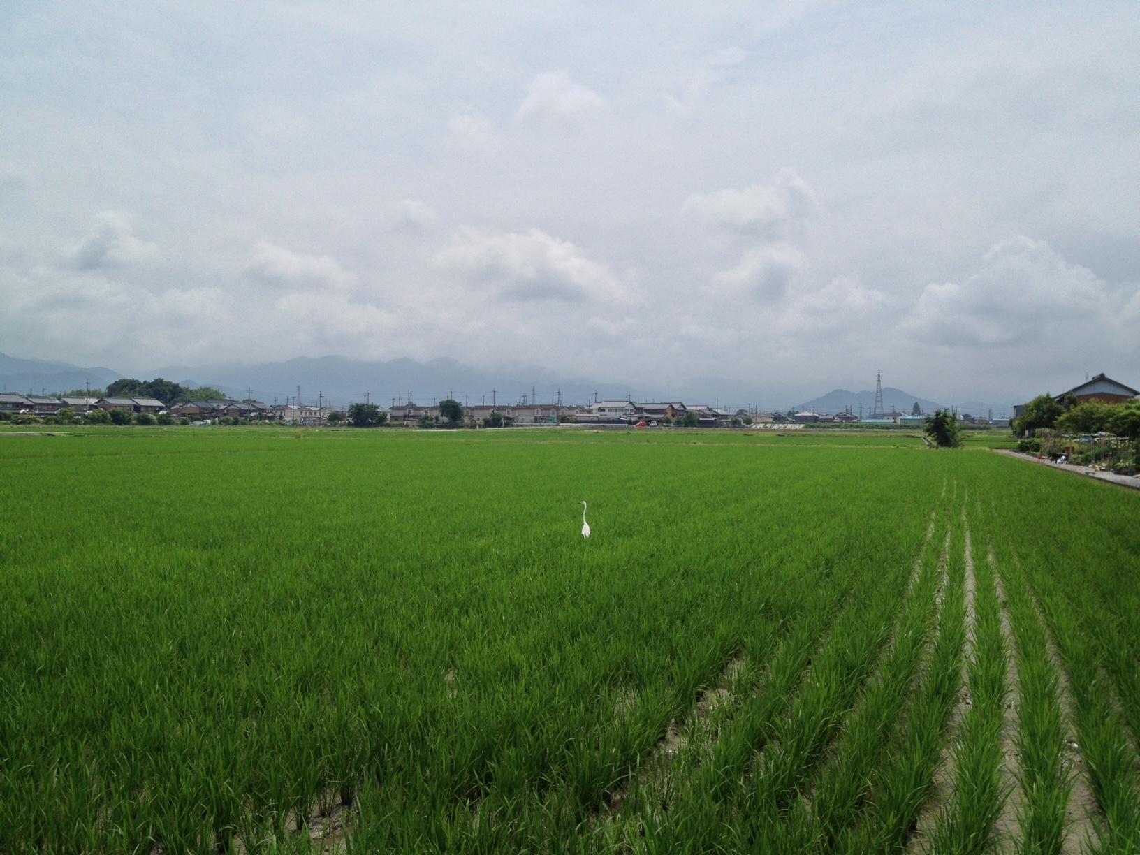 6月の田圃270620
