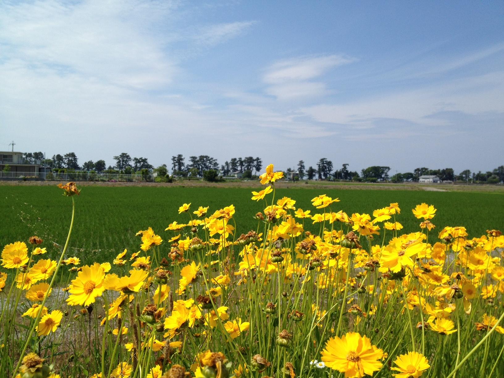 この黄色い花が咲き続ける