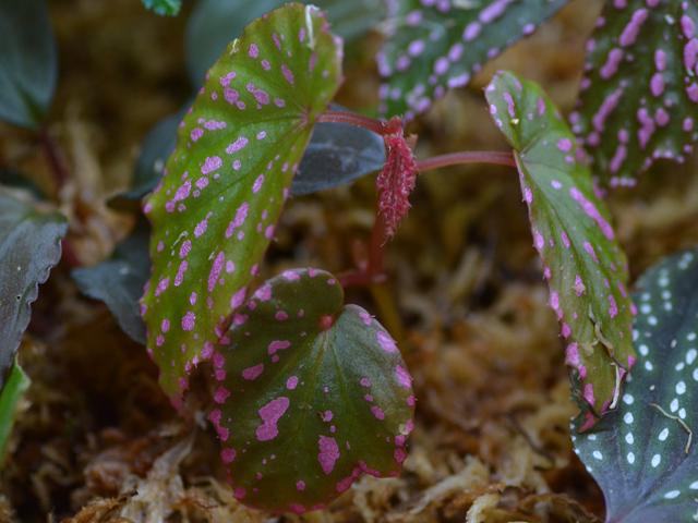 Begonia negrosensis Negros_204154