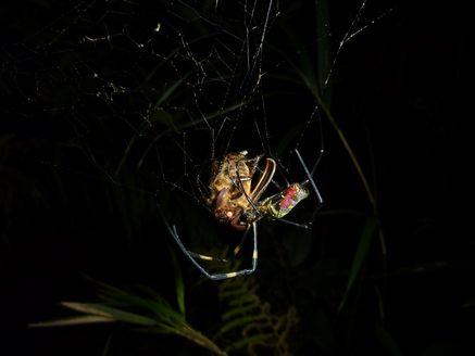 クモの巣ケブカ