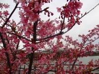 大府市 二つ池公園の河津桜5