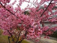 大府市 二つ池公園の河津桜6
