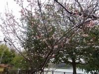 大府市 二つ池公園の梅