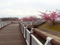 大府市 二つ池公園の河津桜1
