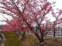 大府市 二つ池公園の河津桜2