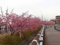 大府市 二つ池公園の河津桜3