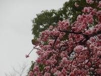 刈谷市 日高公園の梅8