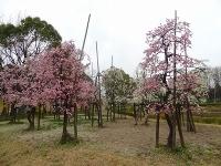 刈谷市 日高公園の梅2