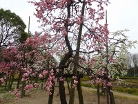 刈谷市 日高公園の梅3