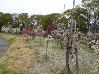 刈谷市 日高公園の梅5