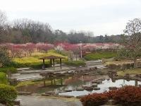 大高緑地公園の梅5