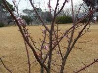 大高緑地公園の桜