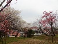 大高緑地公園の河津桜1