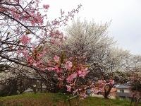 大高緑地公園の河津桜2