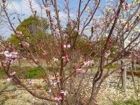 デンパーク 10月桜
